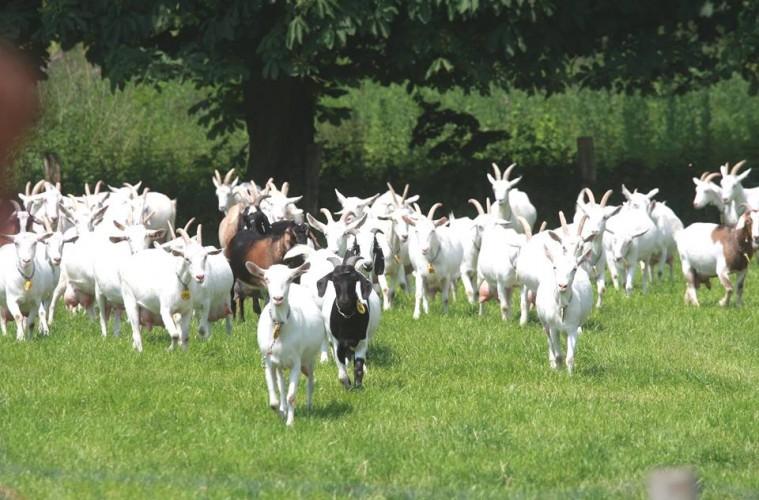 Geitenboerderij Goat farm