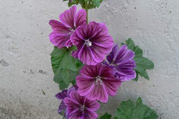 Groot Kaasjeskruid High Mallow